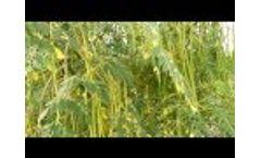MOMAX3 Moringa perennial plantation