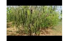 MOMAX3 Moringa Seed Variety : the world's most Popular most Productive Moringa Seed for seed oil
