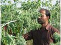 Biodiesel Crop: Castor Agricultural - Extension Kit for 1 ha