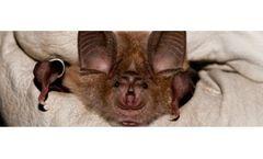 Bat Survey & Advice