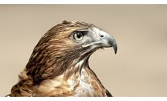 Natural Falconry Bird Scarers and Deterrent Services