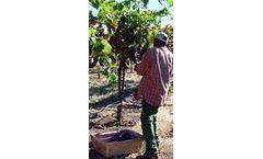 Potato and plantain batteries show promise