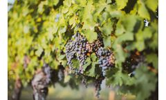 How to Help Grapevines Recover after a Difficult Frost Period