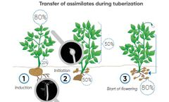 How to Increase Potato Tuber Size and Yield