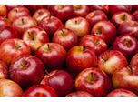 How can we increase the apple yield​ that reaches commercial yield?​