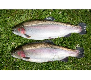 AquaSearch - Late for Pigmented Rainbow Trout