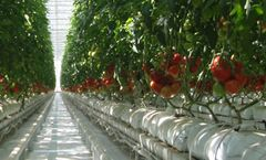 Fogging Technology for Greenhouse Humidification and Cooling Solutions