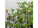 Menyanthes Trifoliata (Bog Bean)