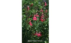 Heatwave - Model EGGBEN002 P.P.#24,153 -  Blast Sage Salvia (Microphylla x Greggii)