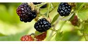 Blackberry Black Satin