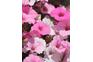 Annuals plant
