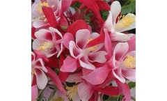 Aquilegia caerulea Origami Red-White