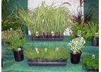 Plugs - Grasses