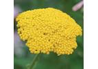 Classic Golden-Flowered Yarrow