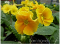 Harvest Yellows