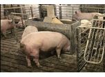 Swine Feeding System for Group-Housed Sows: Do Producers Need to Train Their Animals?