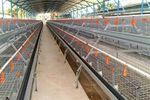 SuperDoubleDeck & SuperTripleDeck - Expandable Management Systems for Laying Hens