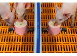 Suckling Pig Feeding Systems