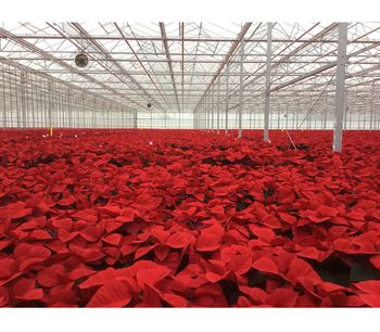 Perfect poinsettias for Christmas? Controlling compost moisture can remove the need for chemical growth retardants