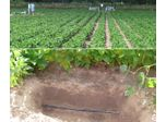 Irrigating with reclaimed water through permanent subsurface drip irrigation systems