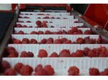 Red raspberries harvesting with KAREN harvester in the main role