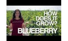 BLUEBERRY | How Does it Grow? Video