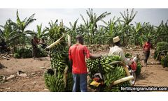 How many times and fertilizers are needed to fertilize bananas each year?