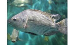 What Are The Common Feeds For Tilapia Breeding