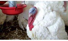 Hybrid - Model XL - Turkey Breeding Genetics Product
