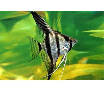 Different Kinds of Freshwater Angelfishes (4)