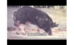 The fattest pigs live in West Flanders - The Duke of Berkshire- Video
