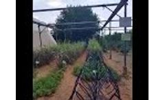 Grapes grown by ROOTS` IBC irrigation by condensation tech! - Video