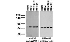 Model 75-048 - Anti-WAVE1/SCAR Antibody
