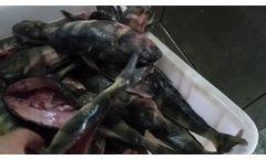 GB170 Fish Belly Splitting Machine - Video