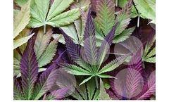 NRGene - Version QuickGENETICS - Cannabis & Hemp Breeding Starter Package Software
