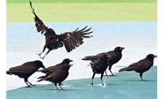 Crows Gone Wild