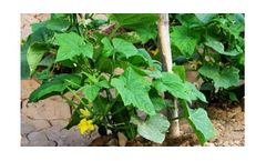Irrigation solutions for Cucumber crops