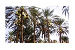 Irrigation solutions for Date crops - Agriculture - Crop Cultivation