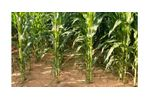 Irrigation solutions for Maize crops - Agriculture - Crop Cultivation