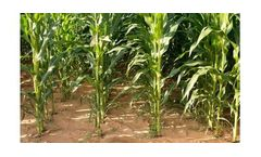 Irrigation solutions for Maize crops