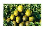 Irrigation solutions for Melon crops - Agriculture - Crop Cultivation