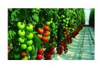 Irrigation solutions for Tomato crops - Agriculture - Crop Cultivation