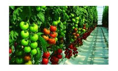 Irrigation solutions for Tomato crops