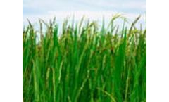 EU researchers discover new way to produce healthy rice in toxic areas