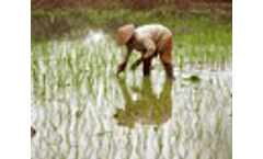 High arsenic levels in Asian rice could be reduced through improved irrigation practices