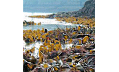 Scottish seaweed may help tackle climate change