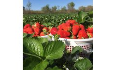 Power Z Grow liquid growth enhancer increases strawberry yield and nutrition
