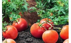 Tomato Grower Gets Out of Red With Cornell Co-Pilot